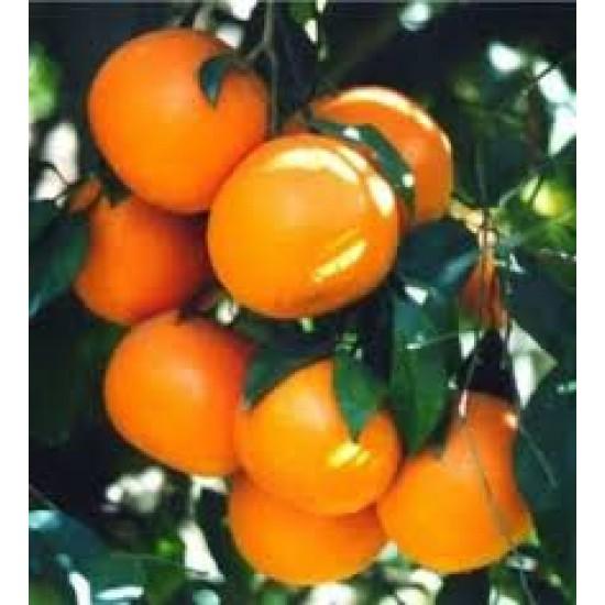 Mandarine rouge Biologique