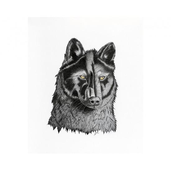 Loup noir (Canis lupus): Black Wolf