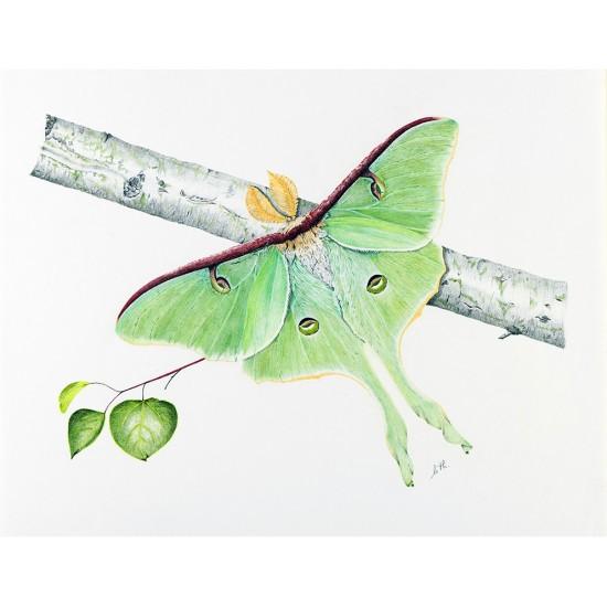 Papillon lune (Actias luna): Luna Moth