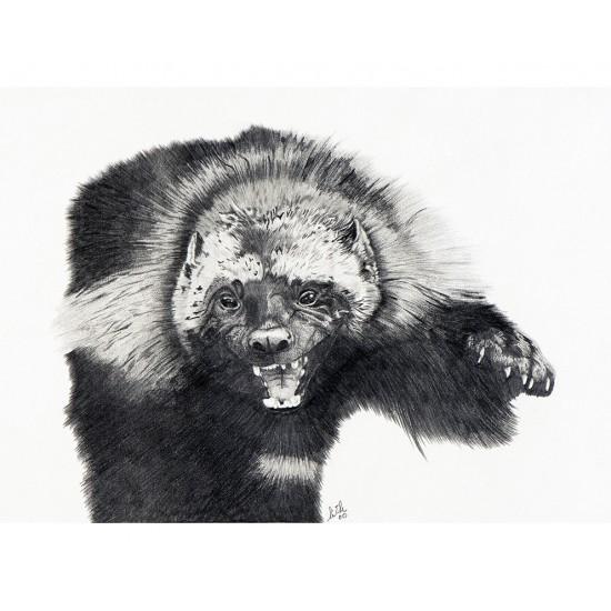 Carcajou (Gulo gulo): Wolverine