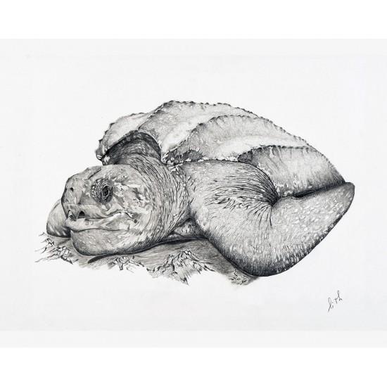 Tortue luth (Dermochelys coriacea): Leatherback...