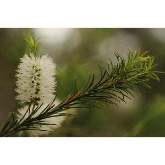 Huile essentielle de Melaleuca ( Tea Tree) 15ml