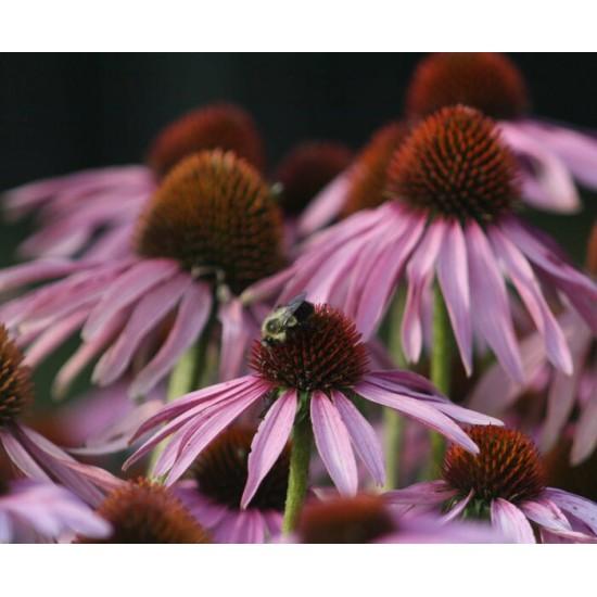 TISANE BIO ÉCHINACÉE, Echinacea purpurea...