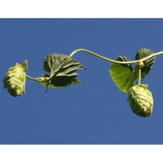 TISANE BIO HOUBLON (Humulus lupulus)